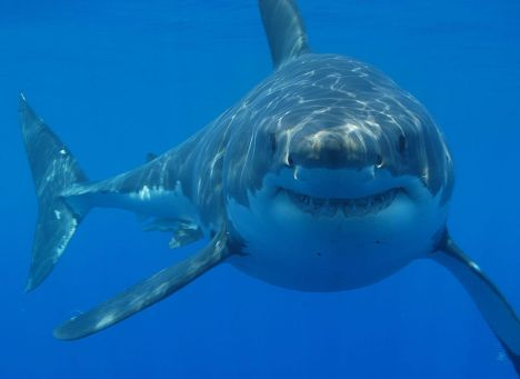 800px-Great_white_shark_south_africa